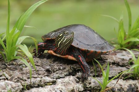Painted Turtle (Chrysemys picta) Basking on a Log - Old Ausable Channel, Pinery Provincial Park, Ontario, Canada Banco de Imagens