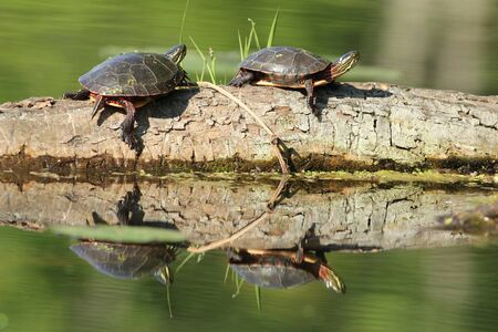 pinery: Pair of Painted Turtles (Chrysemys picta) Basking on a Log - Old Ausable Channel, Pinery Provincial Park, Ontario, Canada