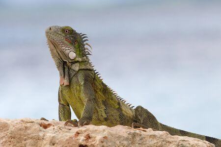 Green Iguana (Iguana iguana) - Bonaire, Netherlands Antilles
