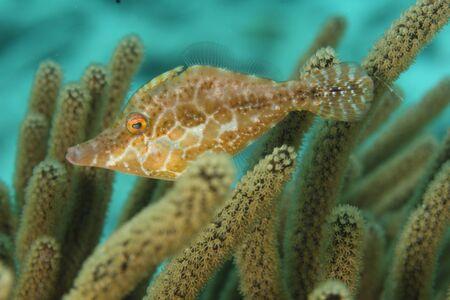 Slender Filefish (Monacanthus tuckeri) - Bonaire, Netherlands Antilles