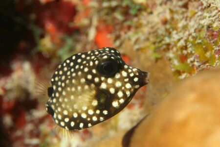 boxfish: Smooth Trunkfish (Lactophrys triqueter) - Bonaire, Netherlands Antilles Stock Photo