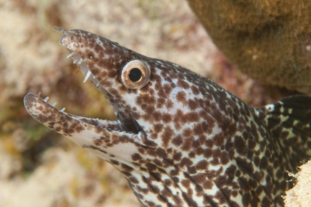 the netherlands: Spotted Moray (Gymnothorax moringa) - Bonaire, Netherlands Antilles