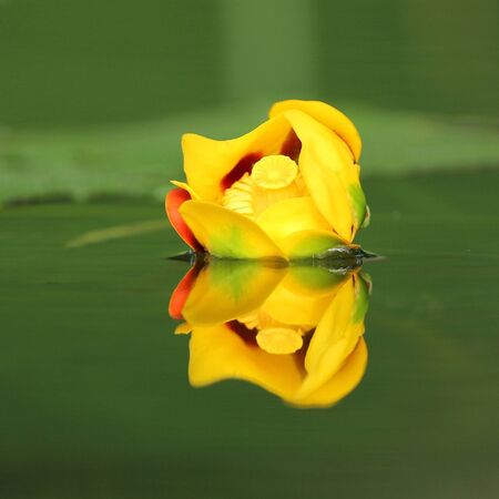 pinery: Bullhead Lily (Nuphar variegatum) reflecting in green water - Pinery Provincial Park, Ontario