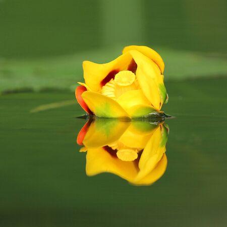 bullhead: Bullhead Lily (Nuphar variegatum) reflecting in green water - Pinery Provincial Park, Ontario