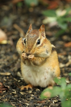 Eastern Chipmunk (Tamias striatus) With Cheek Pouches Full of Food - Ontario Canada