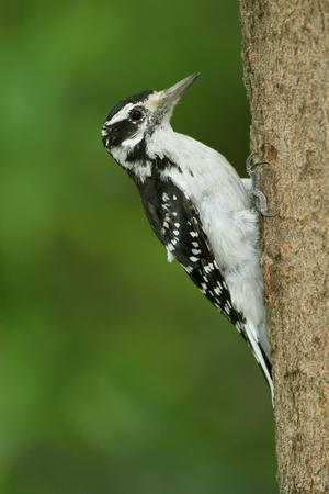 clinging: Female Hairy Woodpecker (Picoides villlosus) Clinging to Tree Trunk - Ontario, Canada Stock Photo
