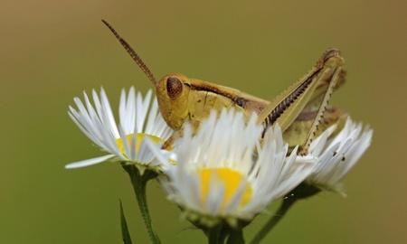 Grasshopper on White Daisy - Ontario, Canada photo