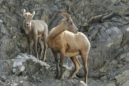 ovis: Rocky Mountain Bighorn Sheep  (Ovis canadensis canadensis) on a Rock Ledge - Ewe and Lamb - Jasper National Park, Canada