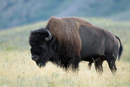 Plains bizon (Bison bison bison) - Nationaal Park Waterton Lakes, Alberta