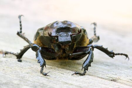 Closeup of Scarab Beetle - Ontario, Canada Stock Photo