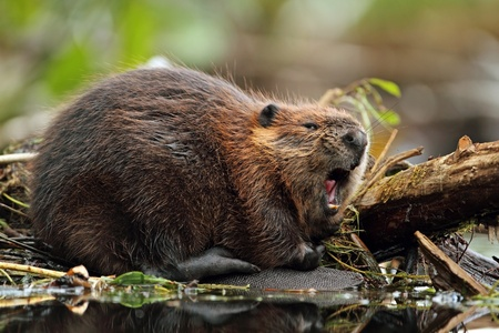 Yawning North American Beaver (Castor canadensis) - Ontario, Canada