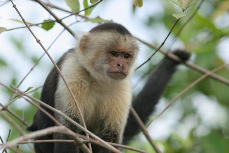 White-faced capuchin (Cebus capucinus) - Costa Rica