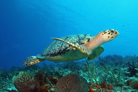 Hawksbill Turtle (Eretmochelys imbricata) swimming over a coral reef - Cozumel, Mexico Stockfoto