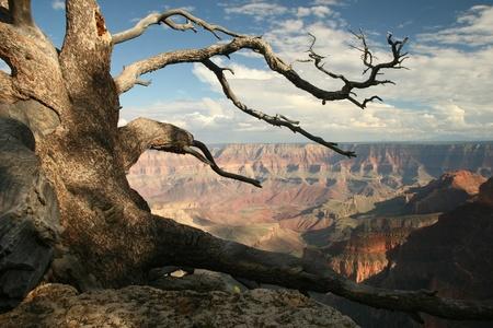 gnarled: Gnarled Pine on North rim of Grand Canyon - Arizona
