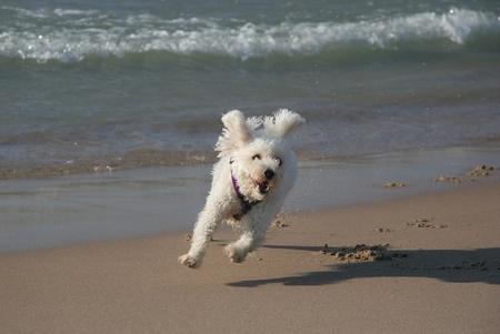 Small White Dog Running on Beach photo