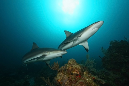 Caribbean Reef Sharks (Carcharhinus perezi) - Roatan, Honduras 写真素材