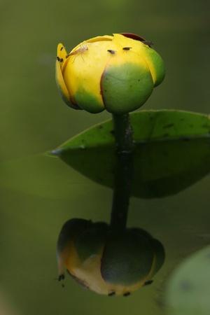bullhead: Bullhead Lily (Nuphar lutea) Reflecting in Pond