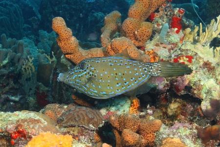 cozumel: Scrawled Filefish (Aluterus scriptus) - Cozumel, Mexico