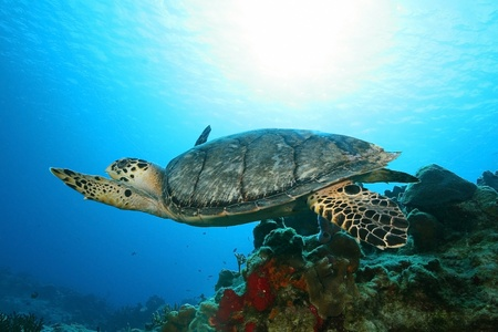 Hawksbill Turtle (Eretmochelys imbriocota) Swimming Over a Coral Reef - Cozumel, Mexico