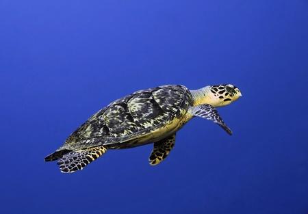 Hawksbill Turtle (Eretmochelys imbriocota) Swimming in Open Water - Cozumel, Mexico