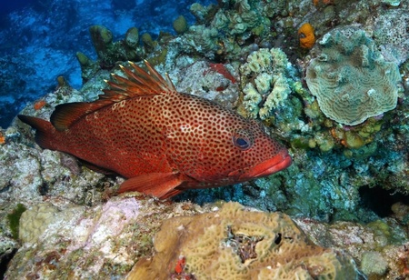 Red Hind (Epinephelus guttatus) on a Coral Reef - Cozumel, Mexico