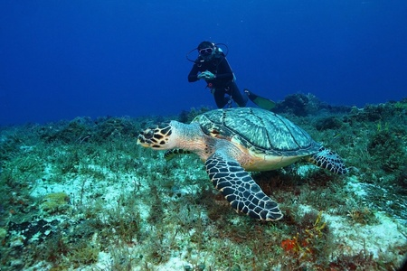 ecotourism: Hawksbill Turtle (Eretmochelys imbriocota) and Scuba Diver - Cozumel Mexico