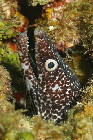 cozumel: Primer plano de Spotted Moray (Gymnothorax moringa) asomando su cabeza por un arrecife de coral - Cozumel, M�xico