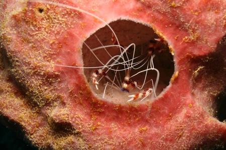 Banded Coral Shrimp (Stenopus hispidus) Hiding in a Sponge - Roatan 免版税图像