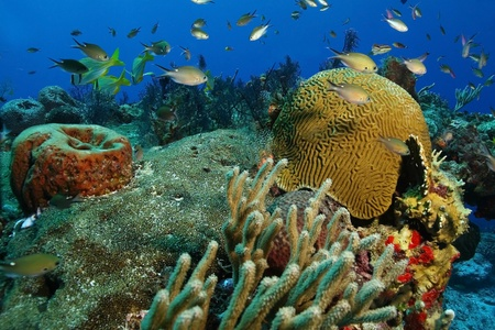 reef fish: Coral Reef with School of Grunts and Brown Chromises - Cozumel, Mexico Stock Photo