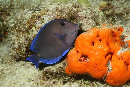 Blue Tang (Paracanthurus hepatus) and Orange Sponge - Cozumel, Mexico Stock Photo - 11883107