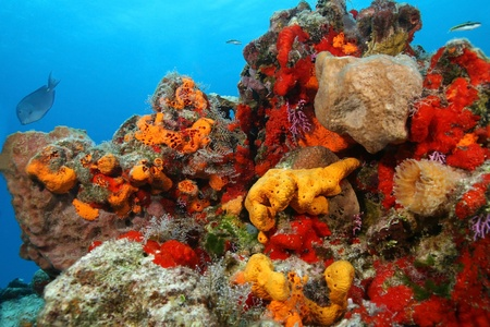 Coral Reef with a Variety of Corals and Sponges - Cozumel 版權商用圖片 - 12062140