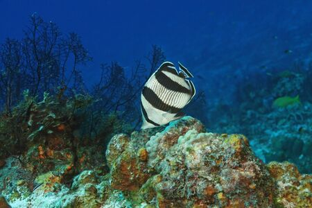 Banded Butterflyfish (Chaetodon striatus) - Cozumel, Mexico Stock Photo