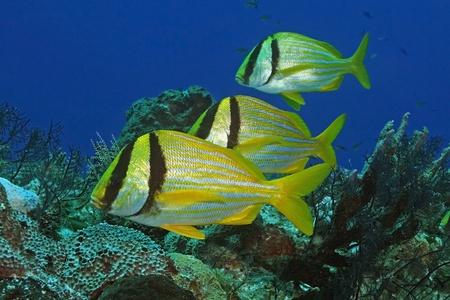 cozumel: Group of Three Porkfish (Anisotremus virginicus) - Cozumel, Mexico Stock Photo
