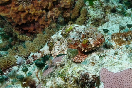 stonefish: Spotted Scorpionfish (Scorpaena plumieri) -Cozumel, Mexico Stock Photo