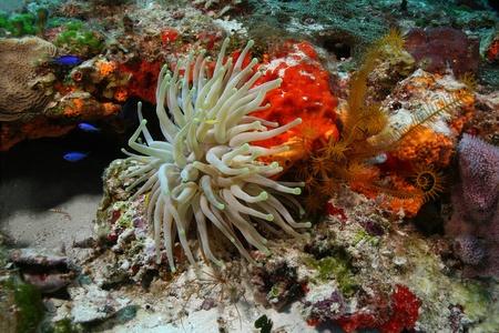 巨大なイソギンチャク (Condylactis の gigantea) サンゴ礁 - コスメル、メキシコ 写真素材