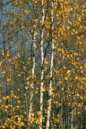 White Birch Trees in Autumn - Ontario, Canada photo