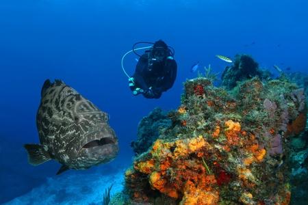 Enorme Zwarte Grouper (Mycteroperca bonaci) en Scuba Diver over Coral Reef - Cozumel, Mexico Stockfoto