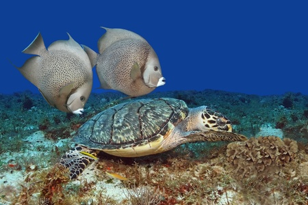 Pair of Gray Angelfish (Pomacanthus arcuatus)Swimming with Hawksbill Turtle (Eretmochelys imbriocota) - Cozumel, Mexico photo