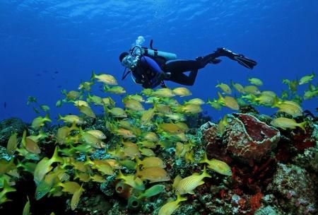 Scuba Diver en School van de Franse Gegrom Haemulon flavolineatum - Cozumel, Mexico Stockfoto
