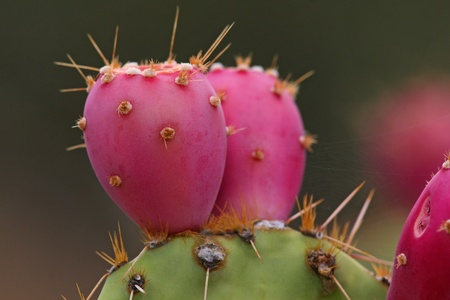 Prickly Pear Cactus Fruit - Arizona Stock Photo - 12963965