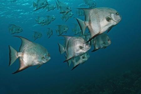 cozumel: Atl�ntico Spadefish Chaetodipterus faber - Cozumel, M�xico Foto de archivo