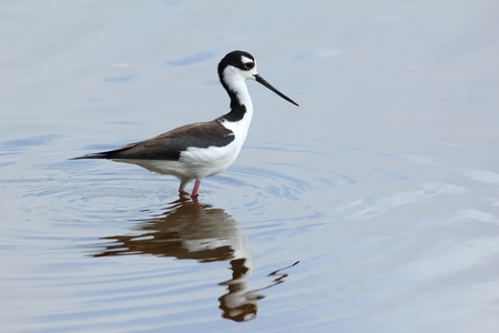 himantopus: Black-necked Stilt  Himantopus mexicanus  wading in a pond with reflection