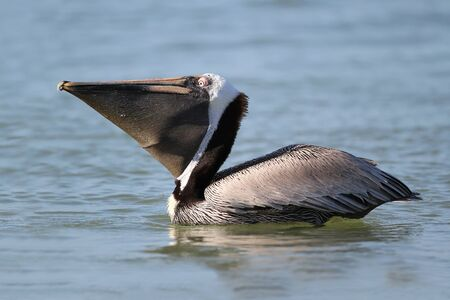 Adult Brown Pelican  Pelecanus occidentalis  in Breeding Plumage with Pouch Extended Swimming off Fort Myers Beach, Florida photo