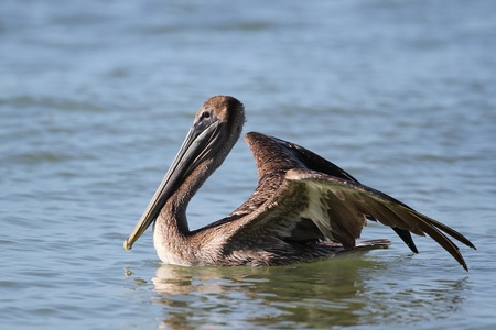 Immature Brown Pelican  Pelecanus occidentalis  Preparing to Take Flight From the Ocean - Fort Myers Beach, Florida photo