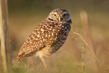 Burrowing Owl  Athene cunicularia  - Cape Coral, Florida Stock Photo - 12898810
