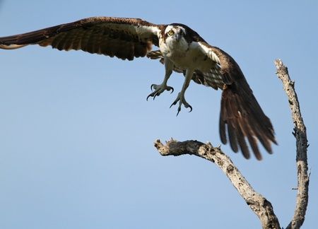talons: Osprey  Pandion haliaetus  in Flight with Talons Out Stock Photo