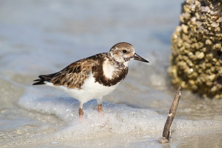Ruddy Turnstone  Arenaria interpres  in Early Spring Plumage Wading Through the Surf - Fort Myers Beach, Florida  photo