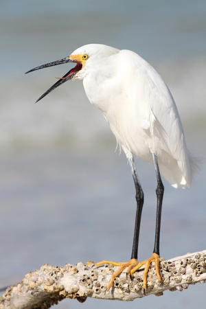 Snowy Egret  Egretta thula  in breeding plumage with beak open - Florida photo