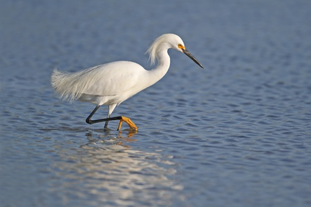 heron: Snowy Egret  Egretta thula  in breeding plumage wading in shallow water with reflection - Fort Myers Beach, Florida