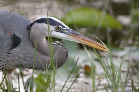 a large bird of prey: Closeup di Great Blue Heron Ardea herodias in caccia -